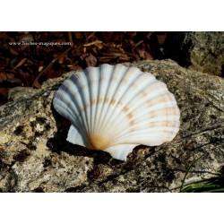 Coquille St Jacques (haute...
